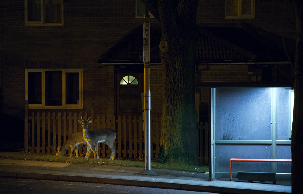 Deer waiting for a bus